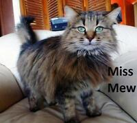 """Adult Female Cat - Maine Coon: """"Miss Mew"""""""