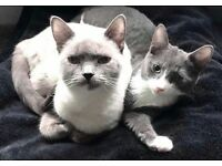 Grey & cream kittens