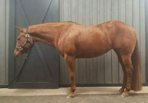 13 yr qh mare for sale/ trade