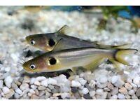 Golden Spot Catfish for sale live tropical fish