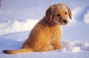 Looking for a golden retriever