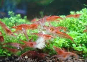 Cherry shrimp! Adults 8 for 10, 25 for 25