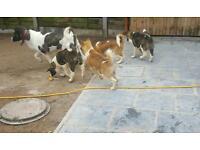 American akita puppies kc registered