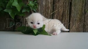 VERY RARE PEDIGREE RED MINK RAGDOLL KITTEN Pleasure Point Liverpool Area Preview