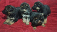 Beautiful Gremam Shepherd Puppies (ONLY ONE MALE AVAIABLE NOW)