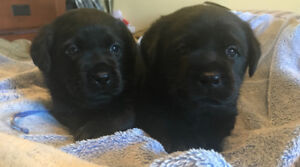 CKC Male Black Labrador Retriever  puppies