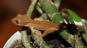 Captive-bred Crested Geckos for re-homing, $40 each