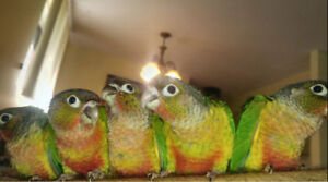❤️❤️★special★Handfed Baby Conure For Reservation❤️❤️