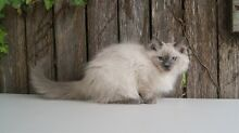 PEDIGREE RAGDOLL KITTENS - BLUE POINT AND BLUE MINK MALES Pleasure Point Liverpool Area Preview