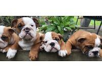 KC registered British bulldog pups