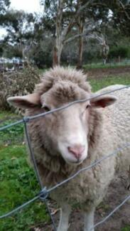 HAND RAISED SHEEP x2 very friendly Victor Harbor Victor Harbor Area Preview