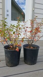 Potted Peking Cotoneaster Trees