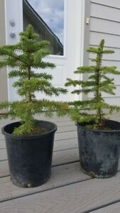 Potted Spruce Trees