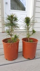 Potted Scots Pine