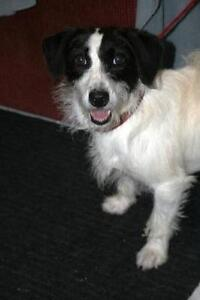 Adult Female  - Jack Russell Terrier-Bichon Frise