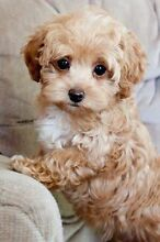 WANTED: small breed dog (maltese/shih tzu/poodle) Raceview Ipswich City Preview