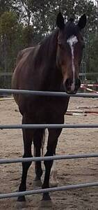 BEST OFFER FROM BEST HOME TB Gelding Samsonvale Pine Rivers Area Preview