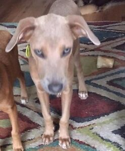 MARSHALA (Max) - Male Rescue Puppy available for adoption