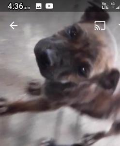 Sharpie X staffy pups