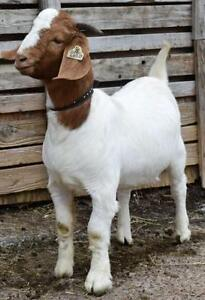 Boer Goats For Sale Cornwall Ontario image 4