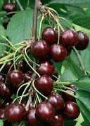 Cherry Fruit Tree