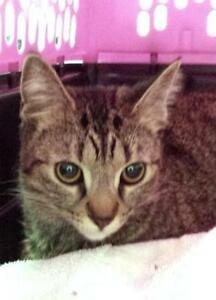 """Young Female Cat - Tabby - Brown: """"Mischief"""""""