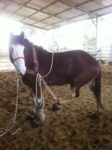 AUSTRALIAN SADDLES, TACK, BITS, TRAINING AIDS, DVD, ROPE Kingston Kingston Area image 5