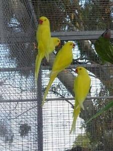 Lutino Indian Ringnecks - Young North Haven Port Adelaide Area Preview