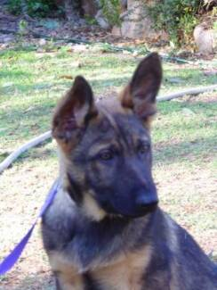 Real German Shepherd Purebred Puppies. Imported / CH Working Line Brisbane City Brisbane North West Preview