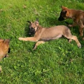 Belgium shepherd malinua puppies