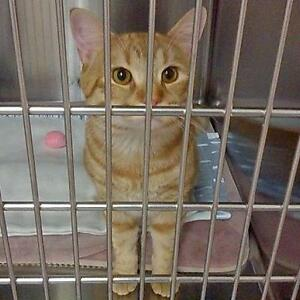 "Adult Male Cat - Domestic Short Hair: ""Dorito"""