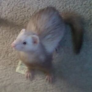 cinnamon ferret for re-homing with cage &food
