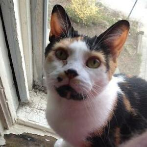 "Adult Female Cat - Domestic Short Hair-Calico: ""Motley Mia"""