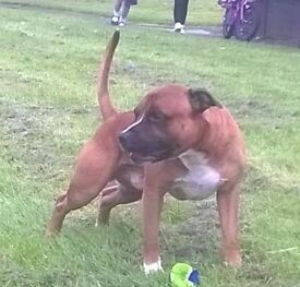 Staffordshire bull terrier fully trained great around kids