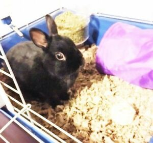 "Young Male Rabbit - Netherland Dwarf: ""Kevin"""