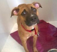 "Young Female Dog - Boxer: ""Tornade"""