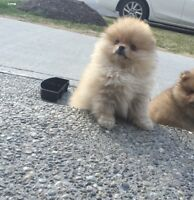 Female Pomeranians