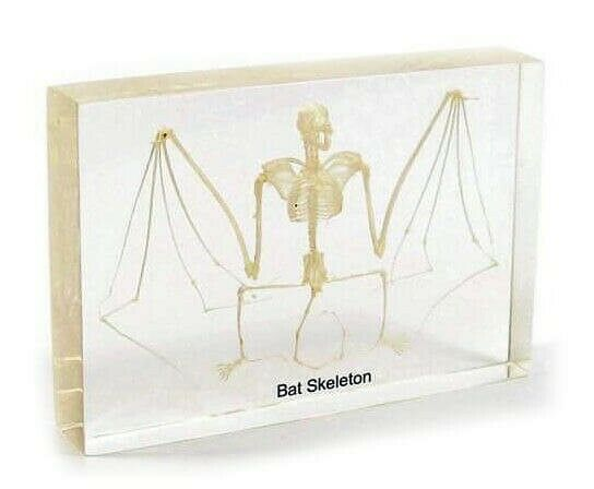 Real Fruit Bat Skeleton Taxidermy Specimen in Clear Acrylic Lucite Display