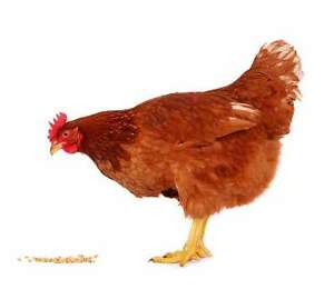 lapin,poule,canard,pigeon,chevre,cage,faisan,caille,paon,cage