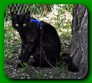 "Adult Male Cat - Domestic Short Hair: ""Dodge"""