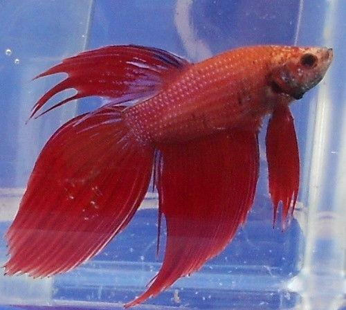 Live betta fish ebay for Live to fish