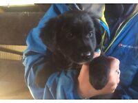 Beautiful collie/retriever pups