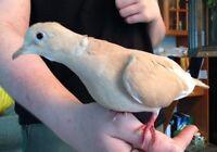 Tangering Dove Babies