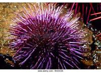 Purple urchin, cleaning crew, marine