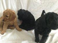 Labrador mix poodle