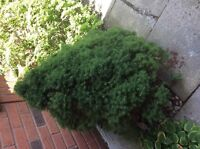 spruce trees and pines for free