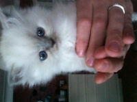~Himalayan Blue point and Seal point males available~