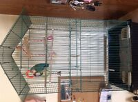 Lovebird for sale with cage