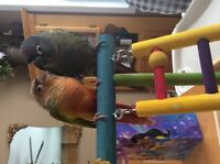 2 purebred conures with papers incl. cage