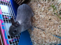 LAPIN A DONNER RABIT TO GIVE FREE NETHERLAND DWARF